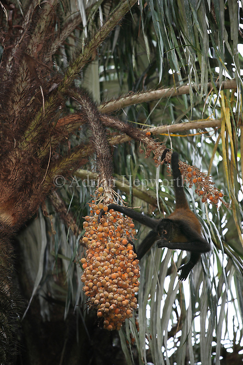 Central American Spider Monkey (Ateles geoffroyi) feeding on African Palm fruit. Corcovado National Park, Osa Peninsula, Costa Rica. <br />