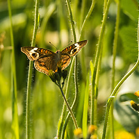 Common Buckeye butterfly on Wisconsin prairie flowers.