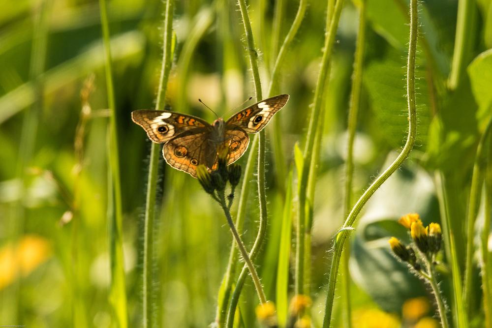 Common Buckeye butterfly on Wisconsin prairie flowers.