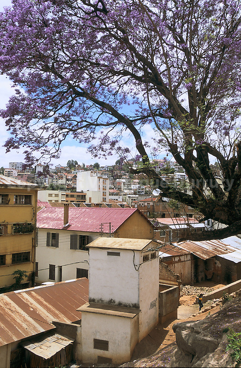 FLAMBOYANT EN FLEUR, ANTANANARIVO, MADAGASCAR