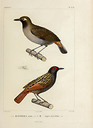 hand coloured sketch Top: Black-faced Antthrush (Formicarius analis [Here as Myothera analis]) Bottom: Black-spotted Bare-eye (Phlegopsis nigromaculata [Here as Myothera nigro-maculatus]) From the book 'Voyage dans l'Amérique Méridionale' [Journey to South America: (Brazil, the eastern republic of Uruguay, the Argentine Republic, Patagonia, the republic of Chile, the republic of Bolivia, the republic of Peru), executed during the years 1826 - 1833] 4th volume Part 3 By: Orbigny, Alcide Dessalines d', d'Orbigny, 1802-1857; Montagne, Jean François Camille, 1784-1866; Martius, Karl Friedrich Philipp von, 1794-1868 Published Paris :Chez Pitois-Levrault et c.e ... ;1835-1847
