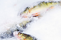 The morning's catch of perch lie in the snow providing a convenient cold storage solution for an ice fisherman.