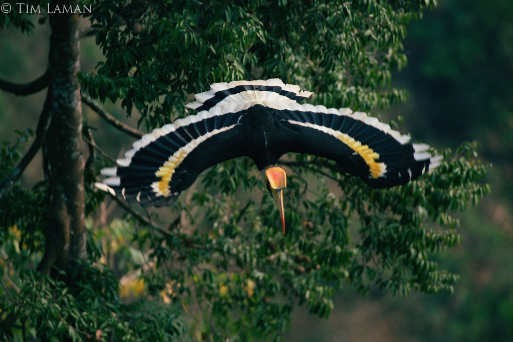 Great Hornbill (Buceros bicornis) in flight..Khao Yai National Park, Thailand