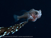 Deep water Gibberfish, photographed at nighttime offshore the Palm Beach County, FL coastline.