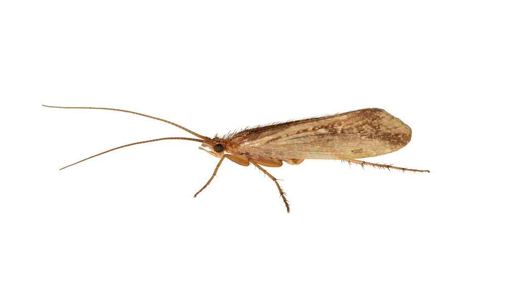 Limnephilus centralis - a caddisfly of woodland streams