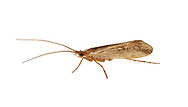 Limnephilus centralis - a caddisfly of woodland streams
