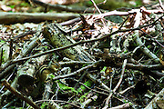 """Feral Siberian Chipmunk, eutamias sibiricus, tamias sibiricus, siberische grondeekhoorn, in the Sonian Forest, Foret de Soignes, or Zoniënwoud, an 11,000 hectare woodland to the southeast of Brussels, providing a """"green lung"""" for the polluted, traffic choked city. The forest is currently in three jurisdictions, Brussels, Flanders and Wallonia, but EU involvement in 2013 will see development of plans to re-unify the forest, for the benefit of humans and wildlife."""