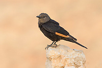 Female Tristram's Starling Onychognathus tristramii perched on rock against mountain background
