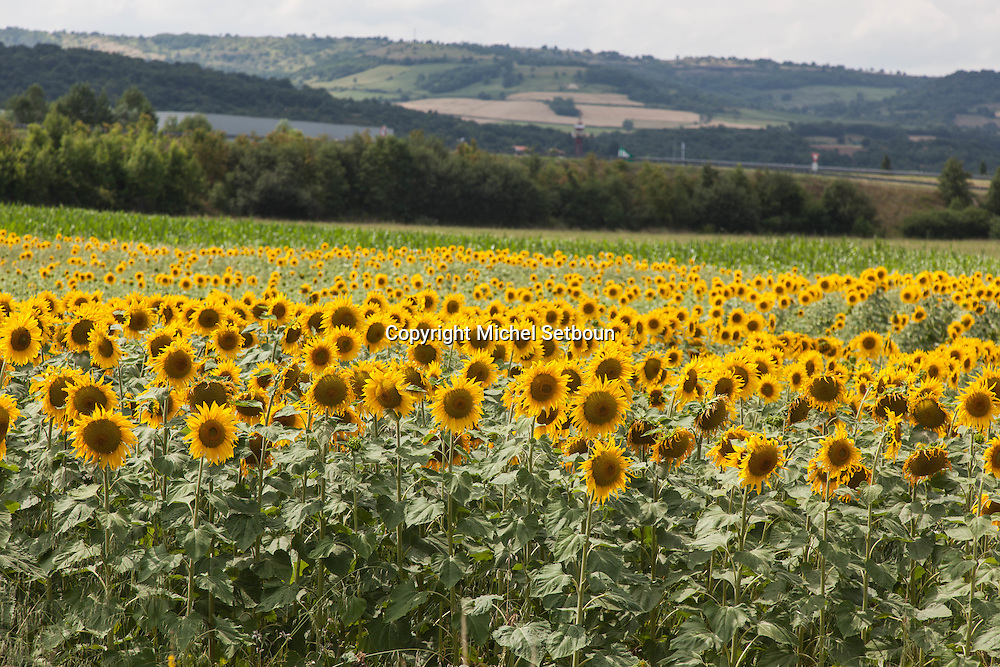 sunflower field, landscape and countryside near Clermont ferrand,  center of  france<br />  / <br /> champs de tournesol, paysage et campagne pres de clermont ferrand ,centre de la  france