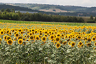 sunflower field, landscape and countryside near Clermont ferrand,  center of  france<br />  / <br /> champs de tournesol, paysage et campagne pres de clermont ferrand ,centre de la  france