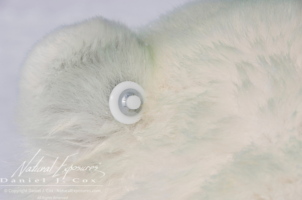 Electronic ear tags, Radio Frequency ID's (RFID's), are placed in a polar bear's ear. This new device allows biologists to identify an animal from a distance by radio tracking equipment.