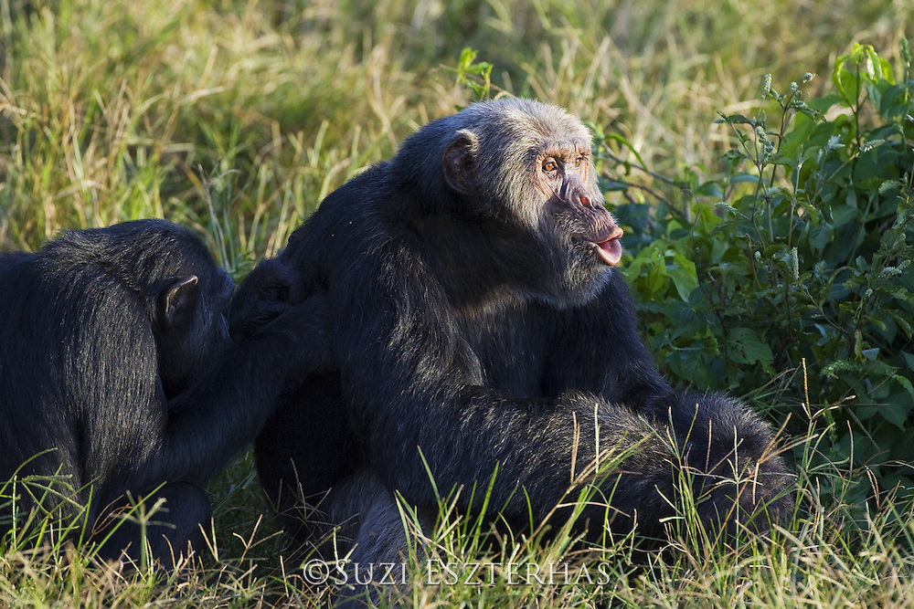 Chimpanzee<br /> Pan troglodytes<br /> Alpha male pant hooting while being groomed<br /> Ngamba Island Chimpanzee, Sanctuary <br /> *Captive