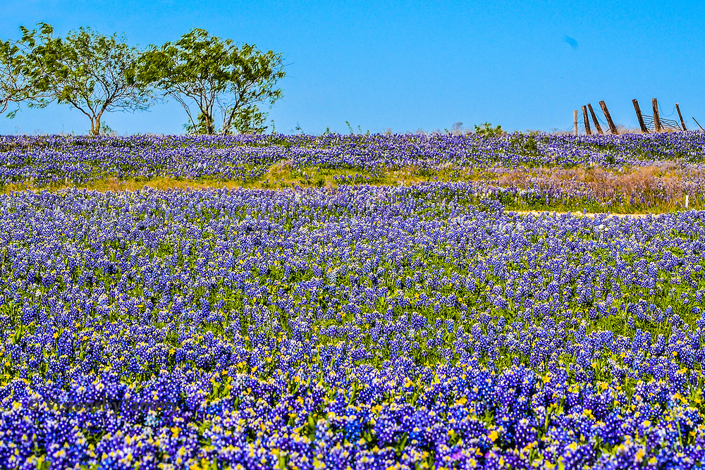 Field of bluebonnets, part of the Bluebonnet Trails in Ennis, TX