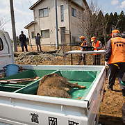 "TOMIOKA TOWN, JAPAN - MARCH 30 : Shoichiro Sakamoto, head of Tomioka Town's animal control hunters group, talks to residents after killing a wild boar at a residential area near Tokyo Electric Power Co's (TEPCO) tsunami-crippled Fukushima Daiichi nuclear power plant in Tomioka town, Fukushima prefecture, Japan, March 30, 2017. According to team leader Shoichiro Sakamoto, ""A wild boar appears in the daytime every day and walking around, residents are scared. It is too dangerous that these might attack people."" (Photo by Richard Atrero de Guzman/NUR Photo)"