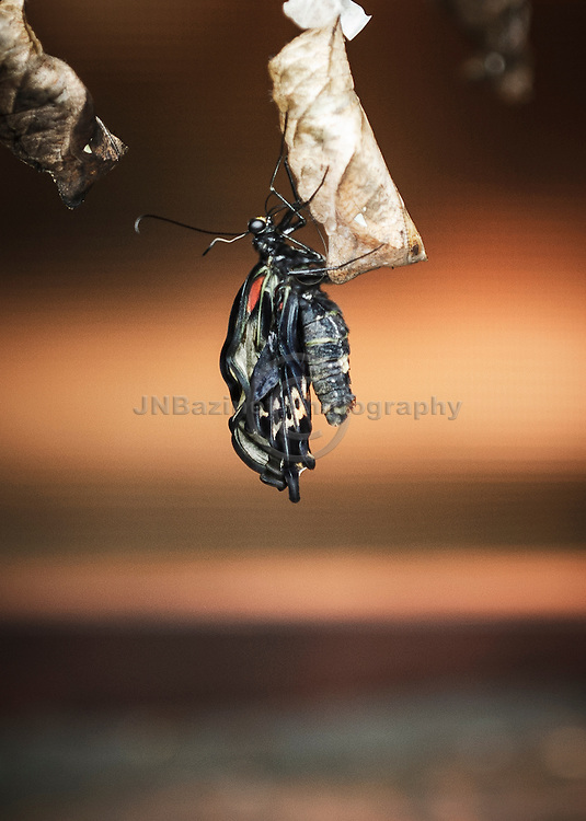 Newly hatched butterfly and chrysalis (pupa stage of the butterfly).