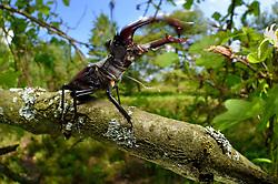 Sequence 1/6) - This stag beetle (Lucanus cervus) is living on oak trees. Biosphere Reserve 'Niedersächsische Elbtalaue' (Lower Saxonian Elbe Valley), Germany | Serie (1/6) - Hirschkäfer-Männchen (Lucanus cervus) in einer alten Eiche, Elbtalauen, Deutschland