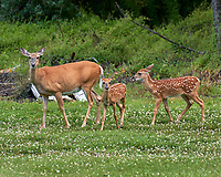 Doe with horseflies and two fawns. Image taken with a Leica CL camera and 90-280 mm lens.