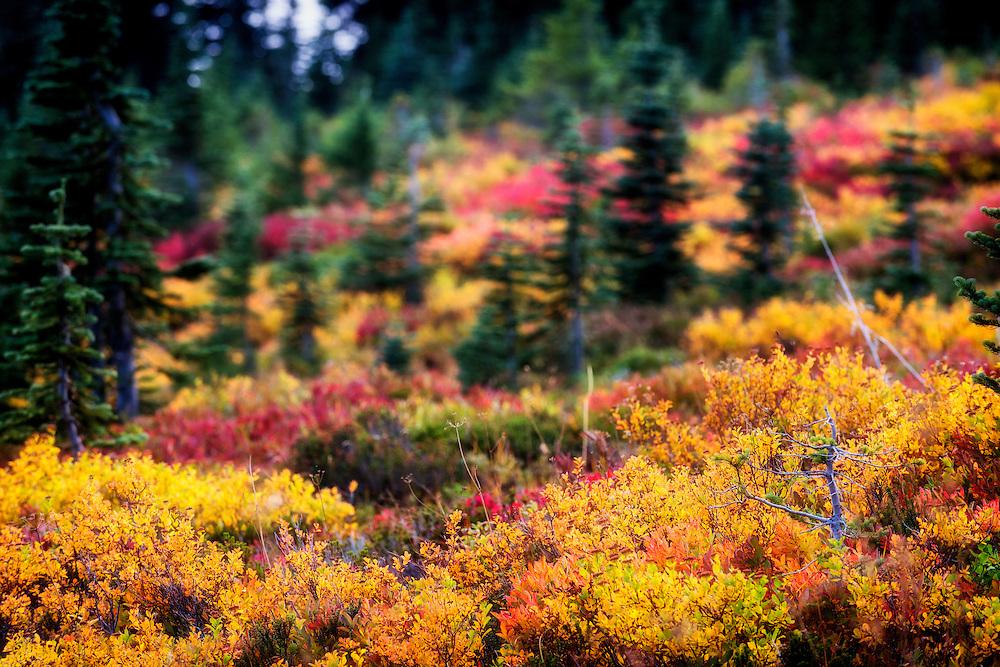 Hillside bursting with fall colors at Mt. Rainier National Park