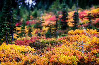 Hillside bursting with fall colors at Mt. Rainier National Park