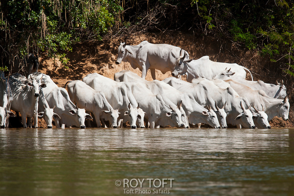 Zebu Nelore beef cattle drinking at the water's edge, Pantanal, Brazil.
