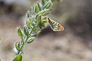 Anthocharis cethura hadromarmorata - Marbled Desert Orangetip