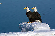 Bald Eagle, Haliaeetus leucocephalus, on snow field, Kenai Peninsula, Homer Spit, Homer, Alaska. Digital original, #2006_0757 ©Robin Brandt