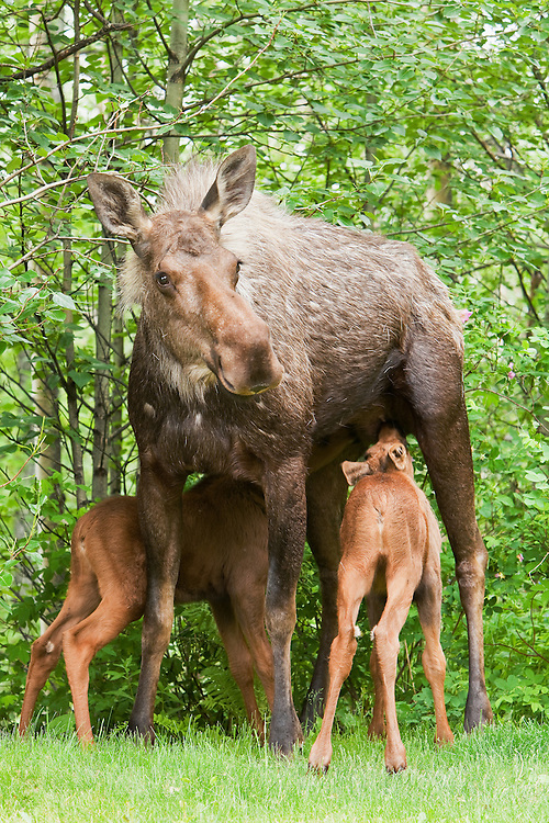 Less than a month old, two newborn moose calves nurse as their mother keeps a watchful eye out for predators in a residential backyard in Eagle River in Southcentral Alaska.  Spring. Afternoon.