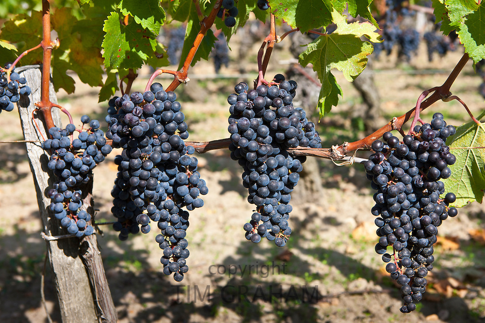 Ripe Merlot grapes at the famous Chateau Petrus wine estate at Pomerol in the Bordeaux region of France