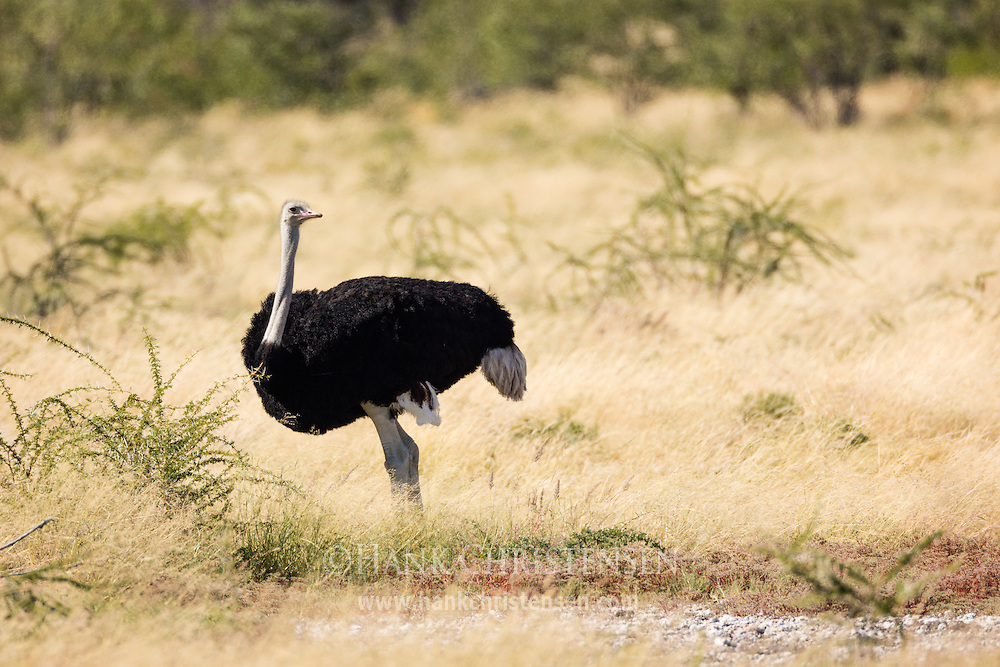 A male ostrich walks through the savanna, Etosha National Park, Namibia.