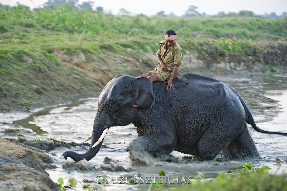 Asian Elephant <br /> Elephas maximus<br /> Bathing with mahout on back<br /> Kaziranga National Park, India<br /> *Captive