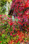 Autumn vines, Korana Village, Plitvice Lakes National Park, Croatia
