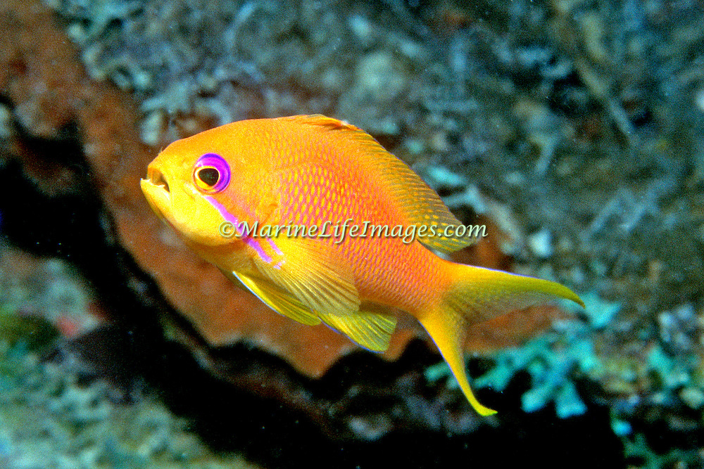 Scalefin Anthias inhabit reefs. Picture taken Maldivesi.