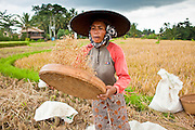 Apr. 22 - UBUD, BALI, INDONESIA:  A woman shucks rice in her paddy near Ubud, Bali, Indonesia. Rice is an integral part of the Balinese culture. The rituals of the cycle of planting, maintaining, irrigating, and harvesting rice enrich the cultural life of Bali beyond a single staple can ever hope to do. Despite the importance of rice, Bali does not produce enough rice for its own needs and imports rice from nearby Thailand.   Photo by Jack Kurtz/ZUMA Press.