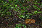 Photo of a fox in Chicago (Bucktown) by Will Rice for eight one seven photography.
