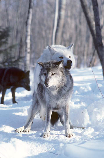 Gray Wolf, (Canis lupus) Alpha male mounts female in attempt to mate. Mid Feb.   Captive Animal.