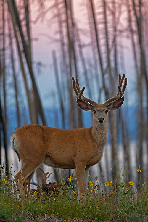 Mule deer are crepuscular and can often be found feeding at dawn, dusk and long into the night. Because they prefer early growth forests, mule deer are often found in areas ravaged by fire a few years before, such as the burned pine forests surrounding Yellowstone Lake.