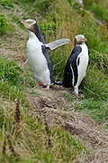 Endangered Yellow-eyed Penguin, Moeraki, New Zealand