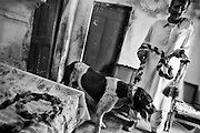"""Burma, a bohli (kid of mastiff) of 4 years old, good winner, and his """"father"""" Ghulam Farid, age 63, in their house in Rawalpindi, Pakistan, on thursday, August 28 2008.....According to the Islamic tradition, angels do not enter a house which contains dogs. Even if they are considered """"ritually unclean"""" by the jurists, the fighting dogs of Pakistan are tolerated by institutions and by believers alike. These mastiffs are grown and trained explicitly for these matches. Spectators in this area flock-in from nearby villages whenever a famous dog is scheduled to enter the arena. And this is more than just a show: entire families base their social esteem on the results of such bloody confrontations."""