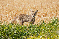 A young Coyote pup out on its own explores the edge of a wheat field.