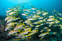 Goatfish and Snappers mix schools over a healthy reef slope<br /> <br /> Shot in Indonesia