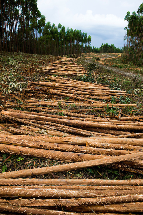 Acacia trees used for pulp and paper plants, outside Tesso Nilo National Park, Sumatra, Indonesia, Aug. 29, 2008..Daniel Beltra/Greenpeace