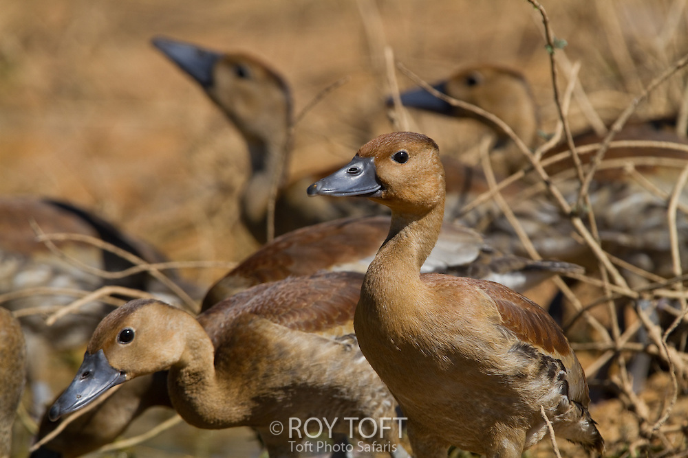 Fulvous Whistling Duck (Dendrocygna bicolor), Pantanal, Brazil