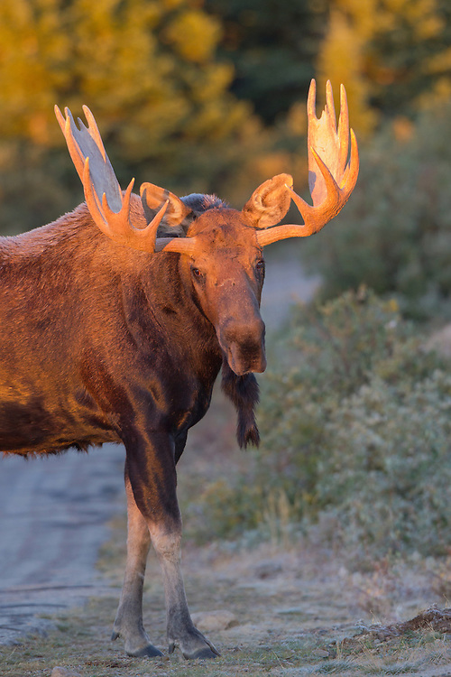 Stock Photo of bull moose taken at Brainard Lake, Colorado.  About 80 percent of the moose'e diet is wood, mostly twigs and brances.  In the summer, it also eats aquatic vegetation.