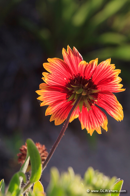 Close-up back lit Gaillardia flower against a dark background. These Gaillardia flowers grow like weeds in the sand on the Outer Banks. They are also known as Indian Blanket Flower, or Firewheel, and are locally known as Jo Bells.