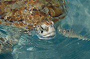 Green Turtle (Chelonia mydas)<br /> CAPTIVE<br /> Isla Mujeres Turtle Farm<br /> MEXICO