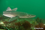 spiny dogfish, piked dogfish, spurdog, or dog shark, Squalus suckleyi (formerly Squalus acanthias ), female with mating scars, Quadra Island off Vancouver Island, British Columbia, Canada, ( North Pacific Ocean )