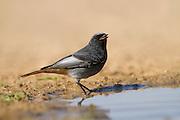 Black Redstart (Phoenicurus ochruros) near water, negev desert, israel