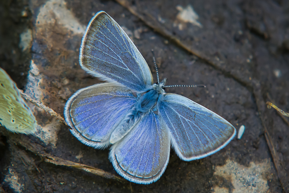 Close-up view of a silvery blue (Glaucopsyche lygnadus), a small member of the gossamer-wing butterfly family collecting moisture from the edge of a creek in Kittitas County, Washington.