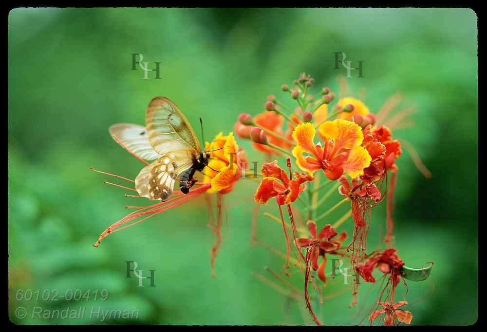 Brown-and-white butterfly pollinates flower & drinks its nectar atop Mount Cootha in Brisbane. Australia