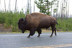 A bison takes a stroll in Yellowstone National Park, Wyoming